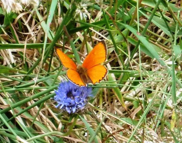 Scarce copper butterfly