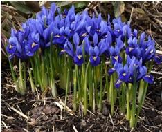 Iris reticulata, Iris bulbeux