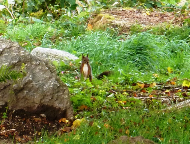 Red squirrel in France Ecureuil roux