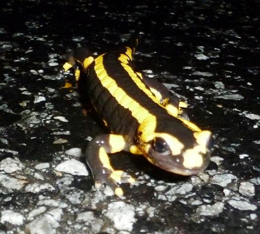 Fire salamander, Salamandra salamandra, : Salamandre tachetée