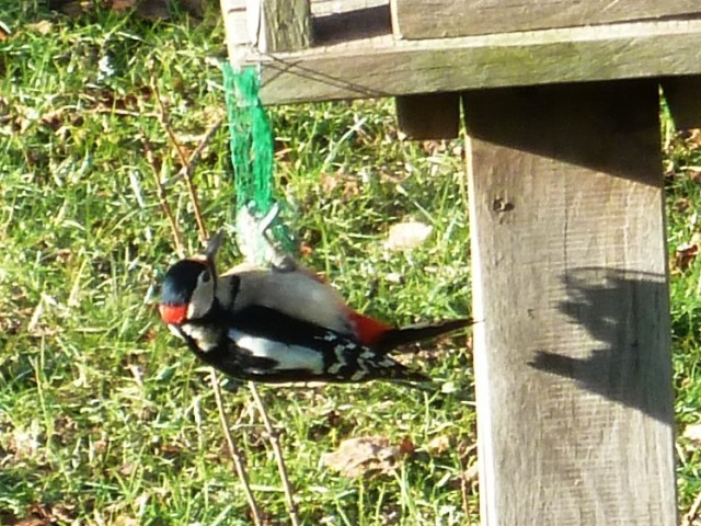Great Spotted Woodpecker (Dendrocopos major) French name: Pic épeiche