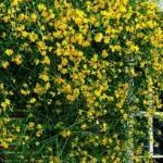 Jasminum nudiflorum. French name: Jasmin d'hiver