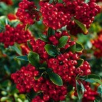 Pyracantha angustifolia 'Saphyr red' French name: Buisson-ardent 'Saphyr rouge.