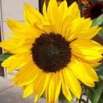 sunflower, soleil