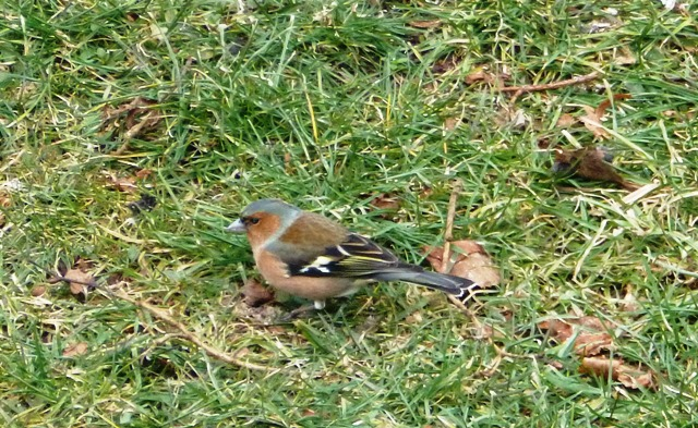 Chaffinch (Fringilla coelebs) French name: Pinson des arbres.
