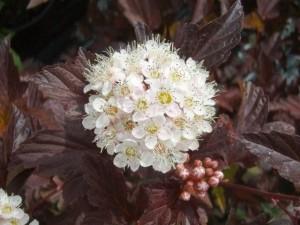 Physocarpus Diable D'or flower