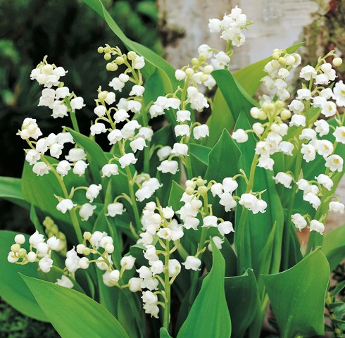 Lily of the Valley, Le Muguet