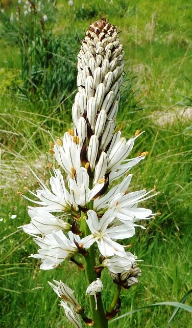 White Asphodel, Asphodelus albus, Asphodèle blanc