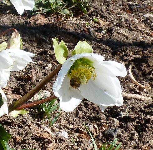 Helleborus niger bee, Hellébore