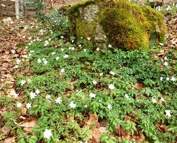 Wood Anemone, Anemone nemorosa, Anémone des Bois