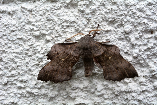 Poplar Hawk-moth, Laothoe populi, Le sphinx du peuplier