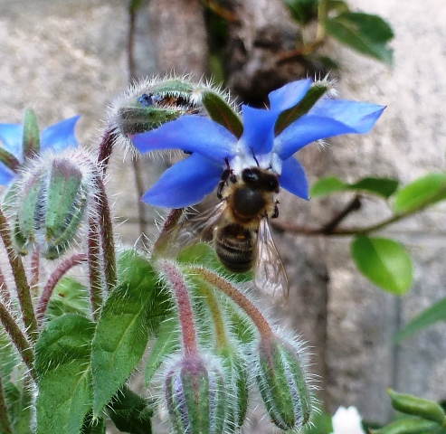 Bee on Borage, Borage, Borago officinalis. Bourrache