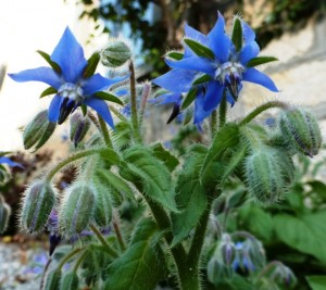Borage, Borago officinalis. Bourrache