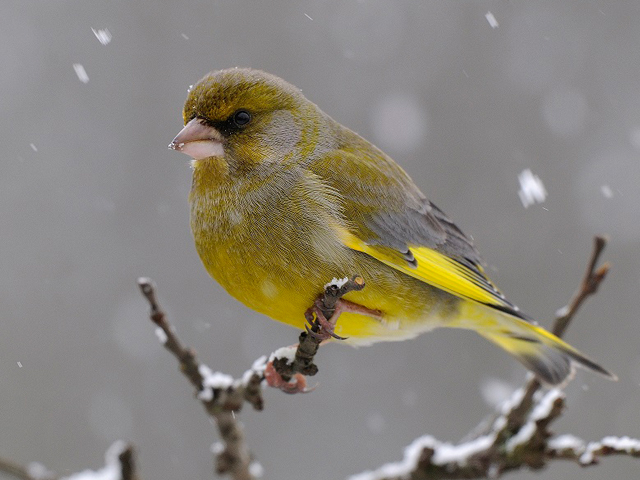 Verdier d'Europe, Greenfinch F. Cahez. Photograph courtesy of LPO France