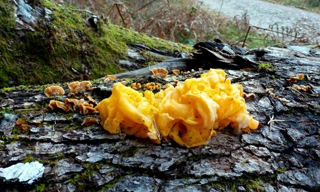 Yellow Brain Fungus, Tremella mesenterica, Tremelle jaune