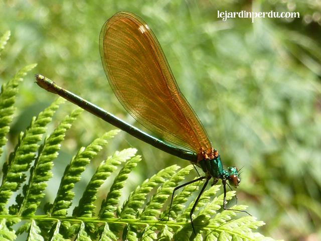 Beautiful Demoiselle, Calopteryx virgo, Caloptéryx vierge