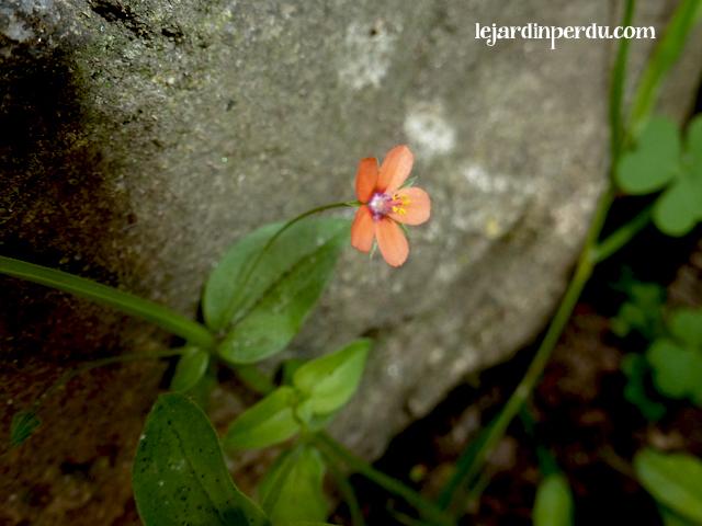 Pimpernel. Anagallis arvensis, Mouron des champs, Fausse-morgeline