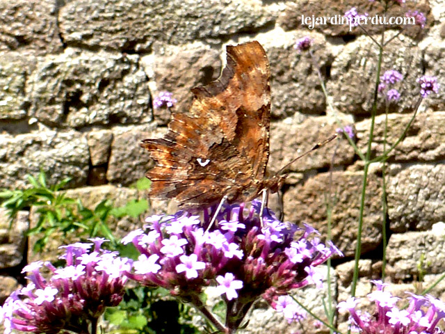 Comma butterflt on Verbena bonariensis