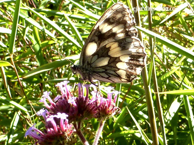 Marbled white butterfly on Verbena bonariensis