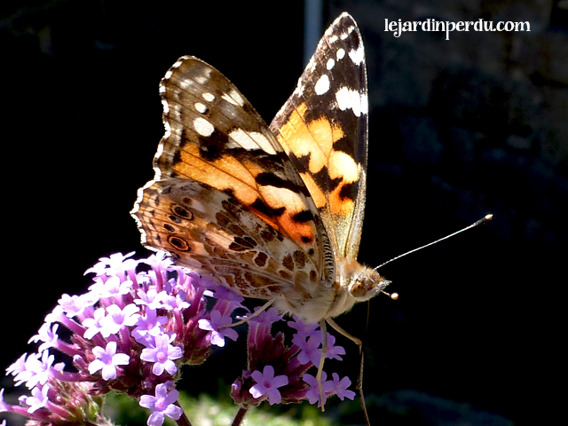 Painted lady butterfly on Verbena bonariensis