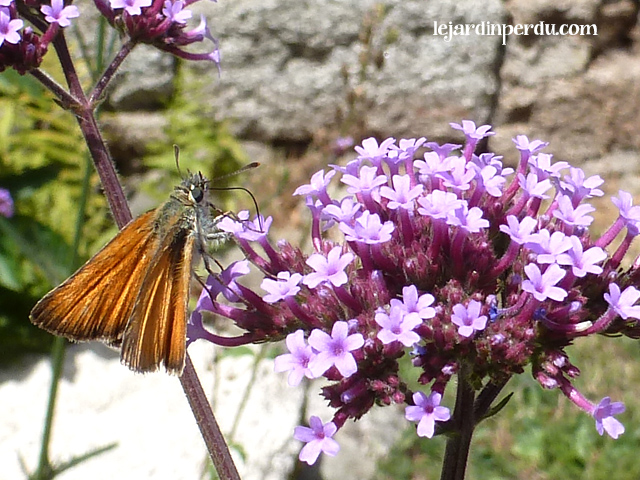 skipper on Verbena bonariensis