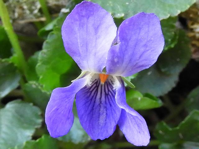Sweet Violet 2