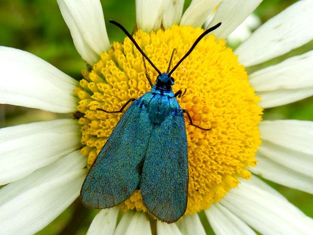 Forester Moth, Adscita statice, le Procris de l'Oseille, La Turquoise de la Sarcille
