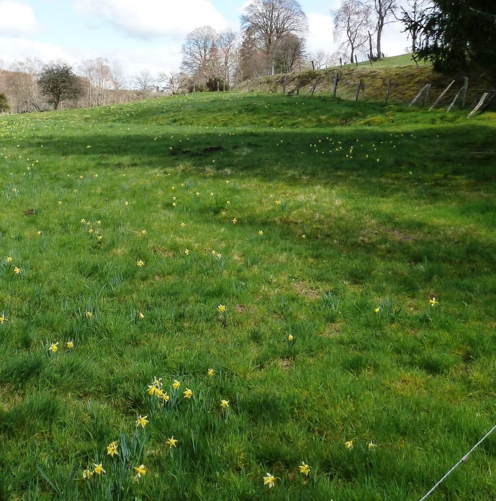 Wild daffodils Narcissus pseudonarcissus