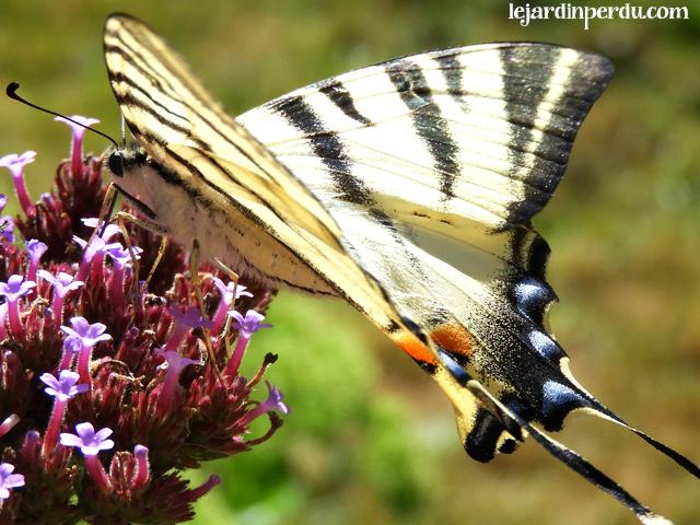 Scare Swallowtail, Iphiclides podalirius, La flambée