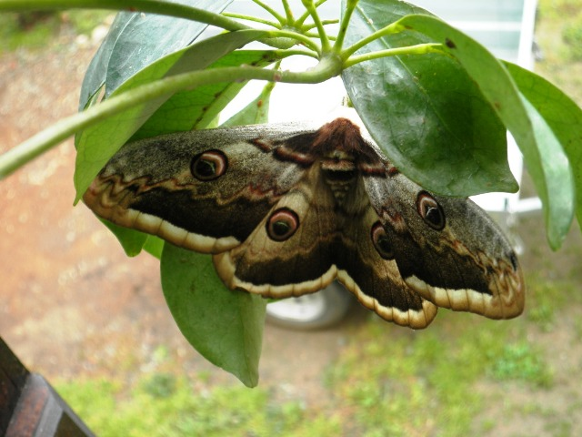 French wildlife: Great Peacock moth
