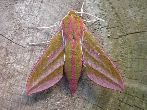 Elephant Hawkmoth, Deilephila-elpenor, Le Grand Sphinx de la Vigne