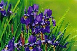 Dutch iris, Iris bulbeux de Hollande