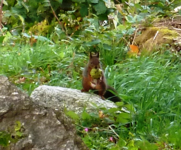 Red squirrel in France, Ecureuil roux