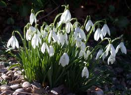 Snowdrops - Galanthus nivalis, Perce-neige