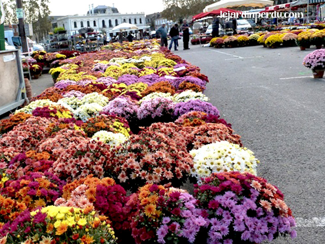 chrysanthemums-brive