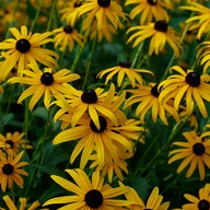 2.	Rudbeckia fulgida, Coneflower or Black-eyed susan. French name: Rudbeckie lumineuse.