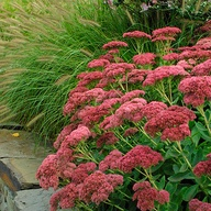Sedum 'Herbstfreude' Autumn Joy. French name: Orpin pourpre 'Autumn Joy'