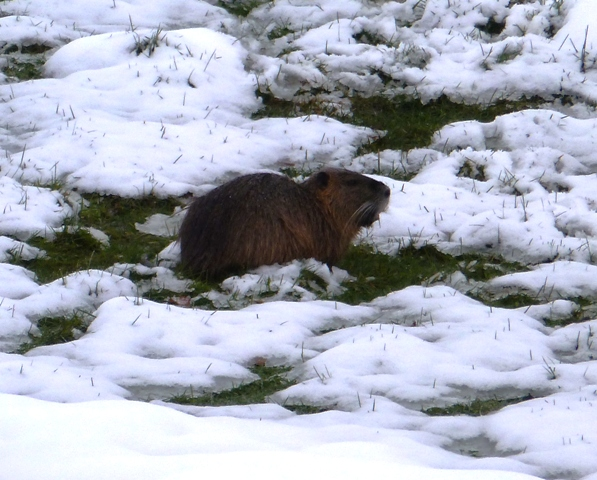 Coypu (Myocastor coypus). French name: Ragondin