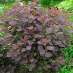 Cotinus coggygria 'Royal Purple. ' French name: Arbre à perruques.