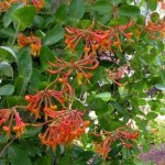 Lonicera x brownii 'Dropmore Scarlet.' French name: Chèvrefeuille grimpant 'Dropmore'