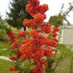 Pyracantha angustifolia 'Saphyr red' French name: Buisson-ardent 'Saphyr rouge'