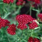 Achillea millefolium 'Cerise Queen