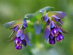 Cerinthe major 'Purpurascens.' (hardy annual)French name: Grand Cérinthe or Mélinet
