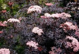 Sambucus nigra 'Black lace.