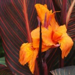 Canna Liberty. French name: Canna à feuillage pourpre 'Liberté.