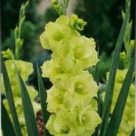 Gladioli 'Green Star.' French name: Glaïeuls 'Green Star.'