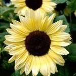 Helianthus annuus (Sunflower). Soleil or Tournesol Géant