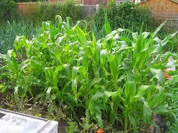 Sweetcorn, Maïs à épis or le maïs doux