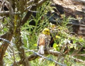 Yellowhammer, Emberiza citrinella, Bruant jaune