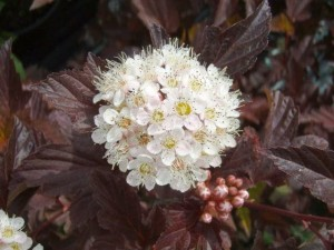 Physocarpus Diable D'or flower